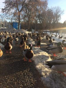 Ducks at Polson